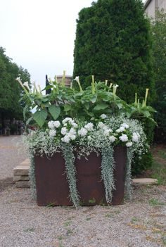 datura metel, double white petunias, euphorbia diamond frost and dichondra
