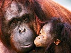 Travel to Indonesia. Assist an Orangutan and Elephant Conservation Project in Sumatra. Click for more info!