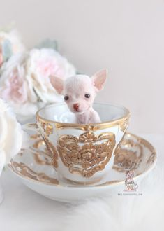 Browse tiny teacup Chihuahua puppies and Toy Chihuahua puppies for sale by TeaCups, Puppies & Boutique! Chihuahua Puppies For Sale, Teacup Puppies For Sale, Tiny Puppies, Rottweiler Puppies, Teacup Chihuahua Puppies, Chihuahua Love, Teacup Pomeranian, Corgi Puppies, Tattoo L
