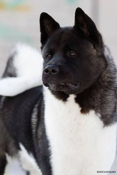 "Click visit site and Check out Best ""Akita Dog"" T-Shirts & Hoodies. This website is excellent. Tip: You can type ""your first name"" or ""your favorite shirts"" by using search bar on the header. Big Dogs, Large Dogs, Cute Dogs, Dogs And Puppies, Akita Puppies For Sale, Doggies, Samoyed Puppies, Funny Dogs, Chien Akita Inu"