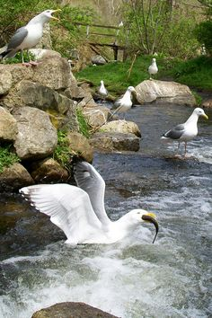This is a typical scene at the herring run & Brewster Grist Mill on Cape Cod.  The herring will be arriving mid April to the gulls delight.