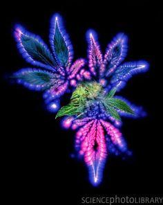 Marijuana Leaf And Bud, Kirlian Artwork Photograph Kirlian Photography, Uv Photography, Photography Gallery, Marijuana Art, Marijuana Leaves, Marijuana Plants, Cannabis Wallpaper, Weed Wallpaper, Aura Photo