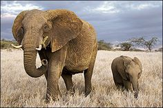 Elephants are in trouble ~ Poachers don't want you to know this...
