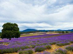 Bridestowe Estate lavender farm Tasmania