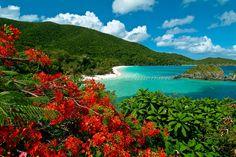 """Flamboyant Tree"" (Delonix regia) overlooking Trunk Bay Beach, Virgin Islands National Park.                        St. John, US Virgin Islands"