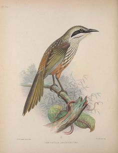 1855 - Aves Hawaiienses : - Biodiversity Heritage Library