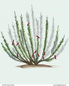 Pruning Subshrubs Don't cut plants like lavender to the ground, and don't touch them in fall or winter   Read more: http://www.finegardening.com/pruning-subshrubs#ixzz3Un4kRdse  Follow us: @finegardening on Twitter | FineGardeningMagazine on Facebook