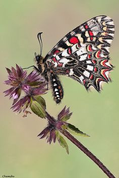 The Spanish Festoon, Zerynthia rumina, is a butterfly belonging to the family Papilionidae. It is a widespread species in Spain and frequents most habitats.