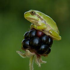 tiny frog on a blackberry