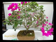 Miami Tropical Bonsai Is One Of The Largest Nursery In United States Trees Tools Pottery