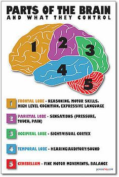 Parts of the Brain - NEW Science Biology Classroom Anatomy Cerebellum POSTER Science & Education Tei Brain Science, Science Biology, Biology Facts, Biology For Kids, Science Cake, Biology Lessons, Brain Gym, Ap Biology, Science Education