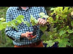 Découvrez les avantages à tailler la vigne en été. Fructification favorisée, fruits plus sucrés. Nous vous expliquons quand et comment vous y prendre. Botany, Horticulture, Planters, Nature, Flowers, Garden Ideas, Articles, Gardens, Halloween