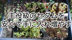 [多肉植物]主役級セダムを安くで手に入れ増やそう! - YouTube Succulent Care, Succulents, Youtube, Plants, Succulent Plants, Plant, Youtubers, Youtube Movies, Planets