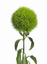 Bouquet of green trick dianthus.