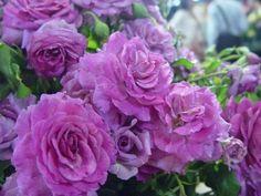 Rose: Sweet Intoxication