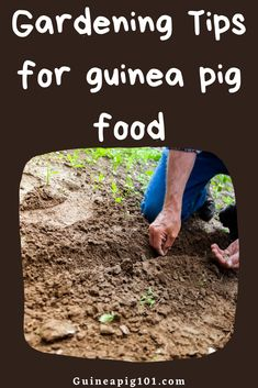 Growing Food For Guinea Pigs: Easy to grow Vegetables, Herbs & Guinea Pig Food, Pet Guinea Pigs, Guinea Pig Care, List Of Vegetables, Easy Vegetables To Grow, Best Fruits For You, Outdoor Metal Plant Stands, Guinea Pig Information