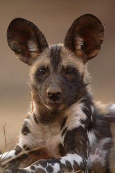 Afrikaanse w.ilde hond