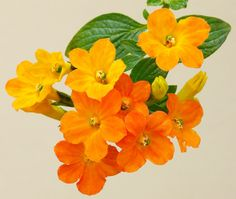 Streptosolen jamesonii, the marmalade bush, is an evergreen shrub of the Solanaceae family that produces loose clusters of flowers gradually changing from yellow to red as they develop, resulting in an overall appearance resembling orange marmalade (thus the name). The sole member of its genus, it is found in open woodlands of Colombia, Ecuador, and Peru - James Gaither on Flickr