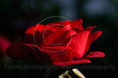 Red Rose  framcaphotography.com