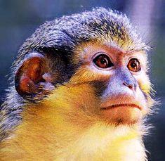 angola talapoin monkey
