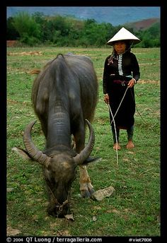 Thai women wearing her traditional dress and the Vietnamese conical hat, with water buffalo, near Son La. Northwest Vietnam (color)
