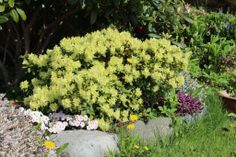 Rhododendron_Prinsesse_Anne