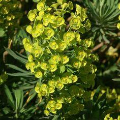Euphorbia  characias ssp. wulfenii 'Shorty' (Euphorbe) : Ce genre rustique et de culture facile, offre une grande diversité de feuillages. Les fleurs, presque invisibles, sont entourées de larges bractées jaune anis, très décoratives. En général, elles se plaisent dans les sols poreux. Le latex qui s'écoule de ces plantes est toxique. Touffe compacte de feuillage vert bleuté prenant des teintes rouge pourpre durant l'hiver. Floraison en grappe jaune au milieu du printemps.
