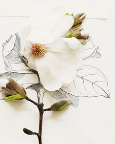 Magnolia and flower illustration. Great lesson in drawing, combining the natural object with the drawn illusion of an exiting object. Art, pencil drawing, and