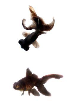 Black Moor Goldfish Photograph