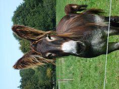 Baudet du POITOU - my donkey friend at the Mulhouse zoo. Donkey Breeds, Horse Breeds, Beautiful Horses, Animals Beautiful, Farm Animals, Cute Animals, Cute Donkey, Down On The Farm, Horse Pictures