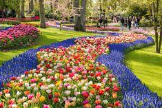 tulips en masse  ~  tulpanernas land