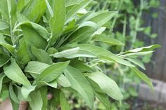 """Most gardeners have a bittersweet relationship with mint, this creeping, prolific, and rather """"invasive"""" herb. If you have mint growing in your garden, you're either asking yourself how to contain it, what to actually do with it, or whether you just want to tear it out. Everyone with a mint patch has, at some point, been knee-deep with mint. And you can only make so many mojitos. The fresh, bright flavor of mint can be used for everything from cocktails and salads to sauces and desserts…"""