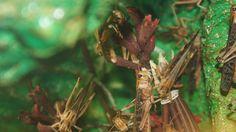 Locusta - Criquet