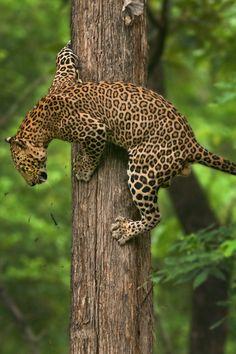 Leopard (by Shaaz Jung)