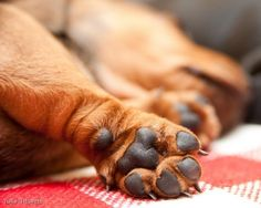 One of my favorite Doxie characteristics.....cute, chubby little paws