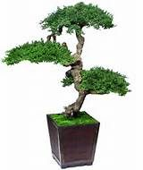 Bonsai Trees - Images - WebCrawler