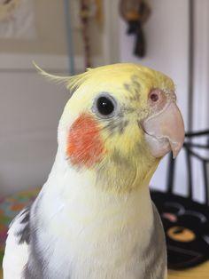 Twinky the cockatiel