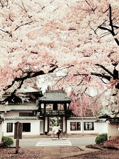 RE: Sendai 仙台, Miyagi prefecture 宮城県, Japan. Cherry Blossoms of Shouonji temple, Miyagi, Oh The Places You'll Go, Places To Travel, Places To Visit, Travel Destinations, Beautiful World, Beautiful Places, Beautiful Moments, Japan Landscape