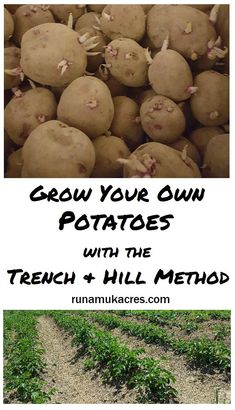 Potatoes are one of the easiest crops to produce and gardeners can grow  their own potatoes using the trench and hill method, even in a first-year garden.
