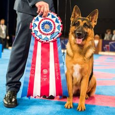 Rumor the German shepherd - BIS Westminster show 2017 American German Shepherd, German Shepherd Photos, German Shepherds, Westminster Dog Show, Dogs With Jobs, Toy Dog Breeds, Military Dogs, Military Service, Howl At The Moon