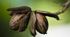 Pecans: Highest Antioxidant Value of All Tree Nuts