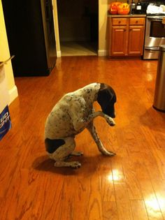 Gotta love it! Tebowing dog!    LOL, love that it's a GSP!