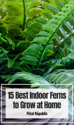 Indoor Ferns are a lush and rewarding addition to any indoor space. You have plenty of options to choose from, each with vibrant, cascading fronds that stand out among other indoor plants. The many varieties of ferns mean there is a great fit for everyone, with beginner-friendly species and more delicate options. Indoor ferns also look gorgeous in a range of indoor planters, pots, and hanging baskets, offering something unique to your indoor space. Indoor Fern Plants, Indoor Planters, Cool Plants, Outdoor Plants, Hanging Plants, Herb Gardening, Indoor Gardening, House Plant Care, House Plants