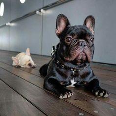 Fanse bulldog