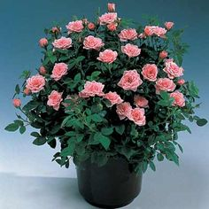 Guide to growing miniature roses indoors.