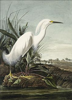 Audubon painted this Egret in 1832 while he was living in Charleston, South Carolina. George Lehman painted the background. It has been speculated that the hunter pictured in the background is Audubon or perhaps one of his friends.