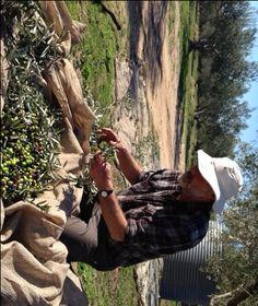 Mount Zero Olives Curing recipe