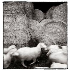 Original Miniature Photography Sheep On The Run