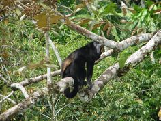 On our Panama Tours you will see the monkeys enjoying their daily lives. Don't just visit the Panama Canal... LIVE IT!  http://www.junglelandpanama.com/#!Tours/chd8