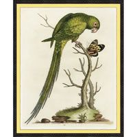 George Edwards Parrot A